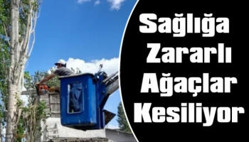 Kars Belediyesi Sağlığa Zararlı Ağaçları Kesiyor!