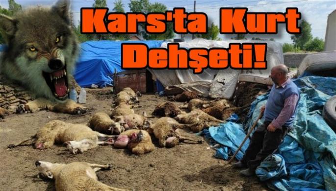 Kars'ta kurt dehşeti, 22 koyun telef oldu!